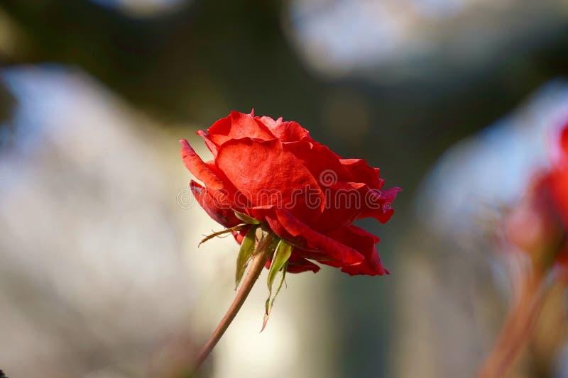 Красивые лепестки цветка красной розы декоративные стоковая фотография rf