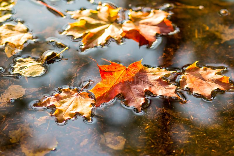 Красивые листья осени упали в воду в дожде осени крупный план предпосылки осени красит красный цвет листьев плюща померанцовый Кр стоковое фото
