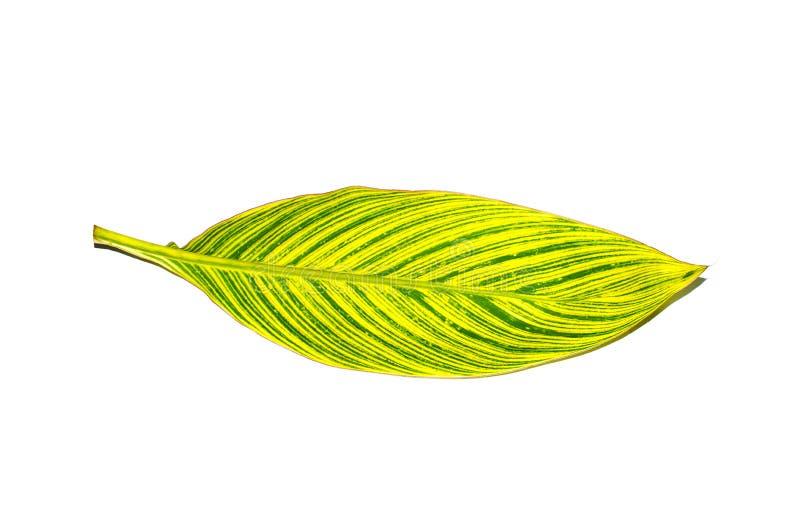 Красивые лист райской птицы желтого зеленого цвета с линиями картиной изолированной на белой предпосылке стоковое изображение