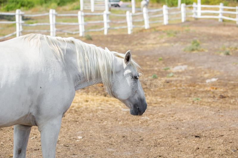 Красивые лошади племенника идя и пася на загоне фермы ландшафт Болгарии европы bojenci идилличный сельский стоковое фото rf