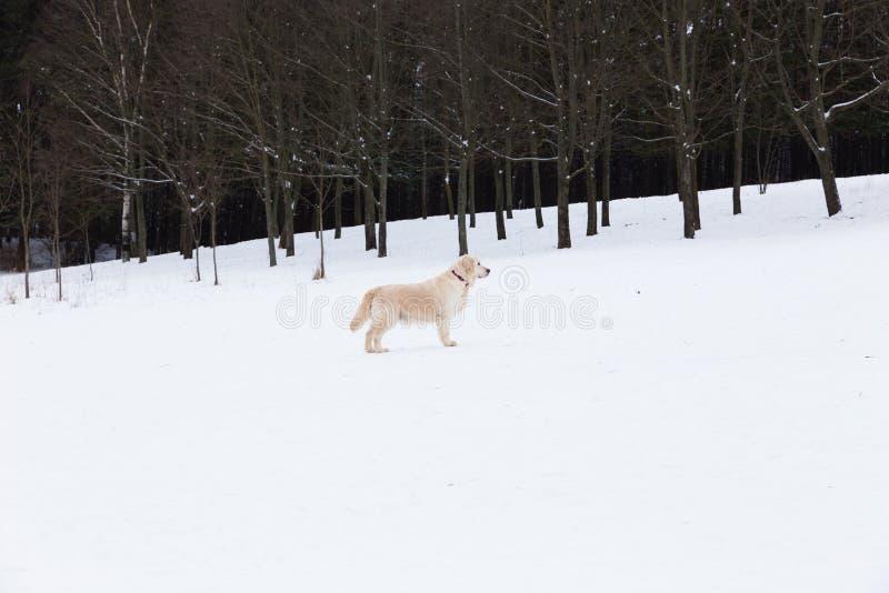 Красивые любимцы - портрет большого золотого retriever на прогулке зимы около покрытого снег леса стоковое изображение