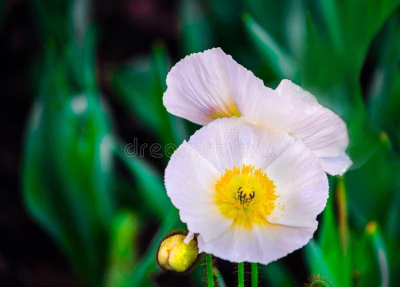 Красивые маки весны полностью зацветают стоковые изображения rf