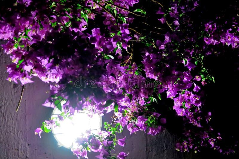 красивые маленькие пурпурные цветки в темноте, освещенной лампой стоковое фото rf