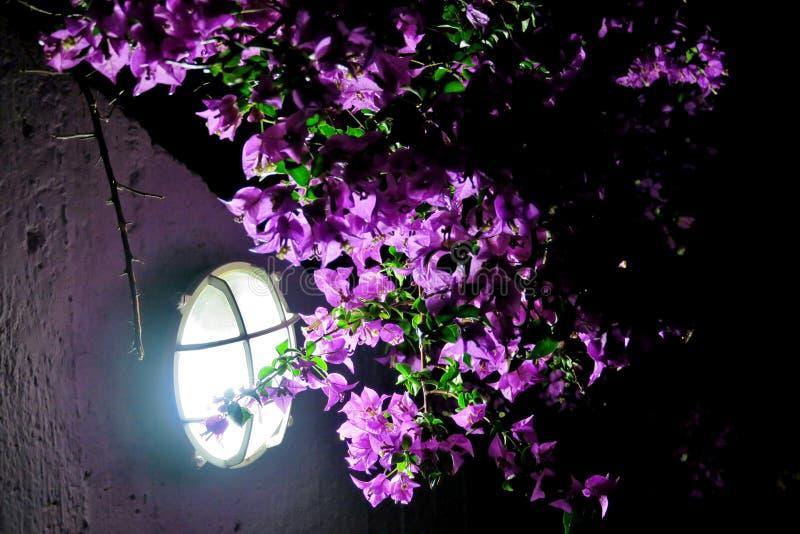 Красивые маленькие пурпурные цветки в темноте, освещенной лампой стоковое фото