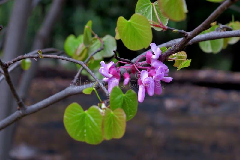 Красивые маленькие розовые цветки на тонких ветвях близко вверх стоковое изображение