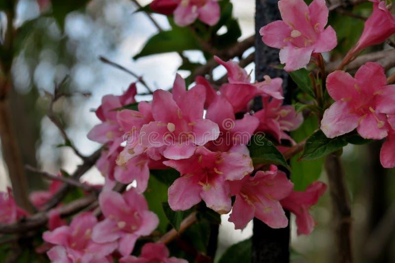 Красивые маленькие цветки пинка закрывают вверх стоковая фотография rf