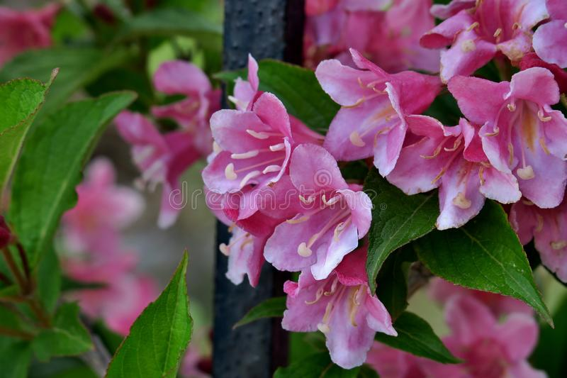 Красивые маленькие цветки пинка закрывают вверх стоковое фото rf