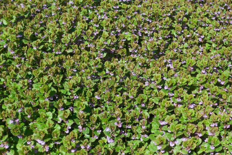 Красивые малые голубые цветки и зеленая трава, лужайка стоковое изображение