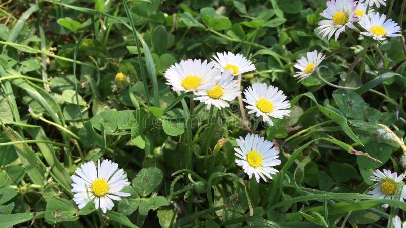 Красивые маргаритки на поле травы стоковая фотография