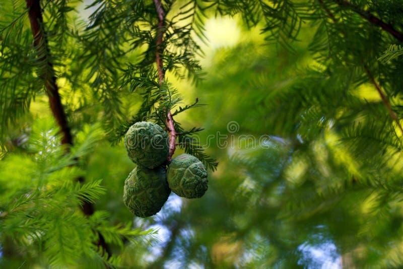 Красивые молодые конусы на ветви дерева в парке или саде стоковое изображение rf