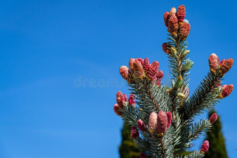 Красивые молодые розовые конусы на голубых елевых pungens Hoopsii Picea стоковые фотографии rf