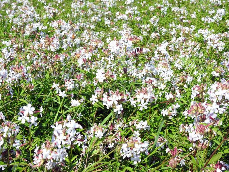 Красивые небольшие белые полевые цветки, Литва стоковые фотографии rf