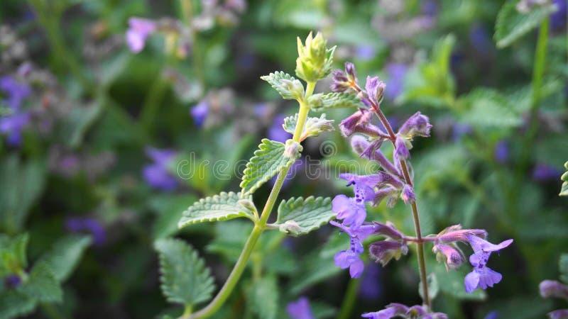 Красивые небольшие цветки и листья мяты mentha закрывают вверх стоковые изображения