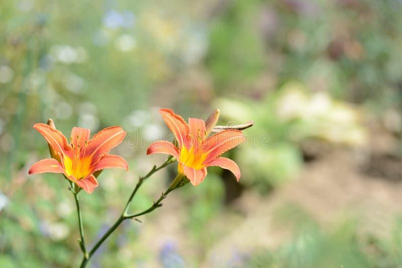 Красивые оранжевые лилии в саде лета стоковая фотография rf