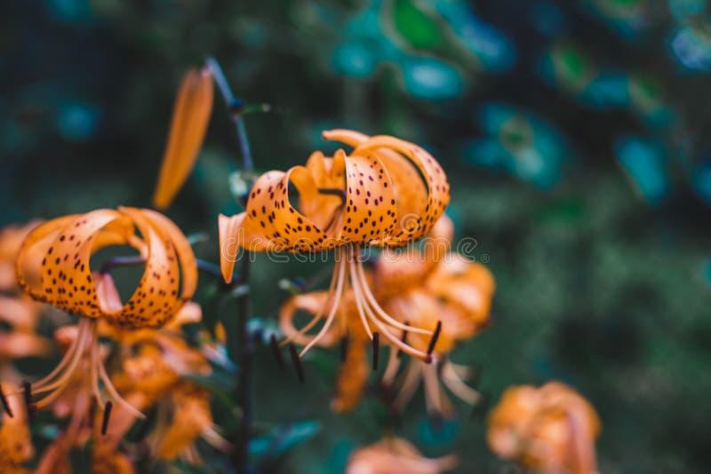 Красивые оранжевые лилии в саде стоковое изображение rf