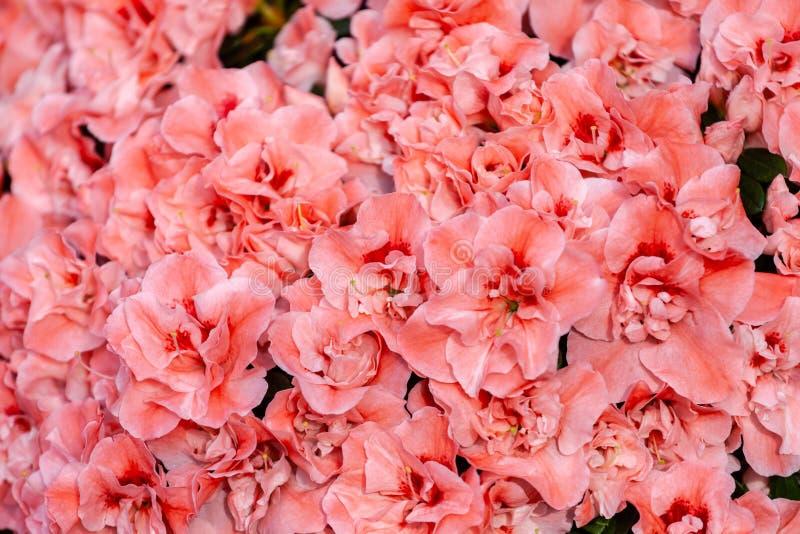 Красивые оранжевые цветки азалии стоковое фото