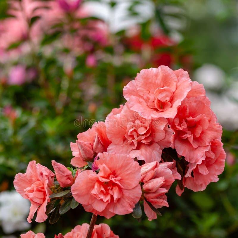 Красивые оранжевые цветки азалии стоковая фотография