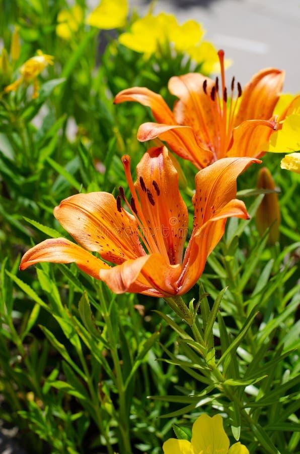 Красивые оранжевые цветки на зеленой кровати города Прогулка города стоковое фото