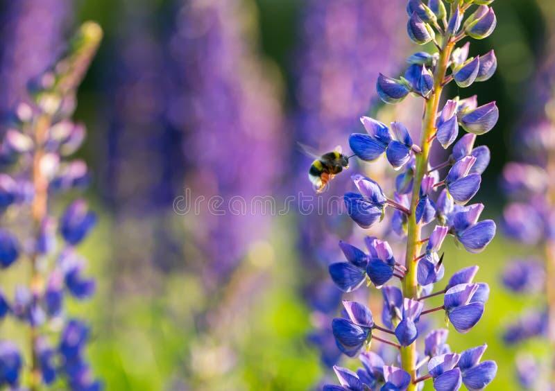 Красивые одичалые цветки и шмель lupinus стоковые фотографии rf