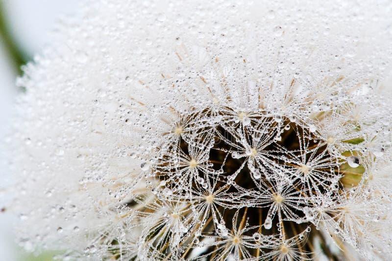 Красивые падения воды на одуванчике, среди гор в тумане Макрос в природе стоковое изображение