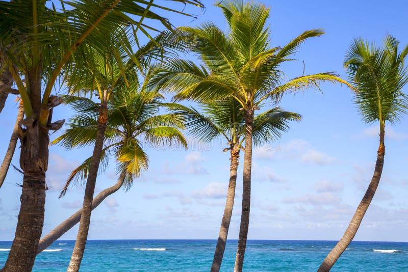 Красивые пальмы на пляже Доминиканской Республики стоковая фотография rf