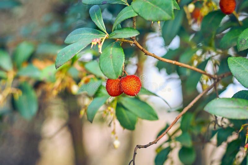 Красивые плоды дерева клубники или дерева unedo arbutus, плоды желты и красны с грубой поверхностью стоковые фото