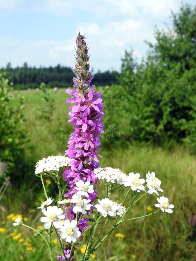 Красивые полевые цветки пинка и белых, Литва стоковое фото