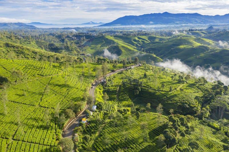 Красивые поля плантации чая с туманом стоковая фотография rf