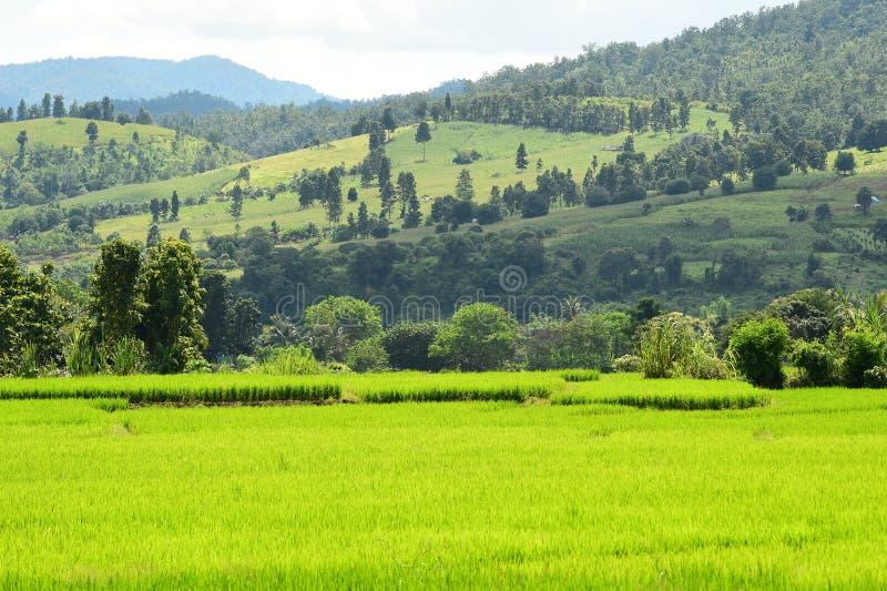 Красивые поля риса зеленого цвета с ландшафтом горы стоковое фото