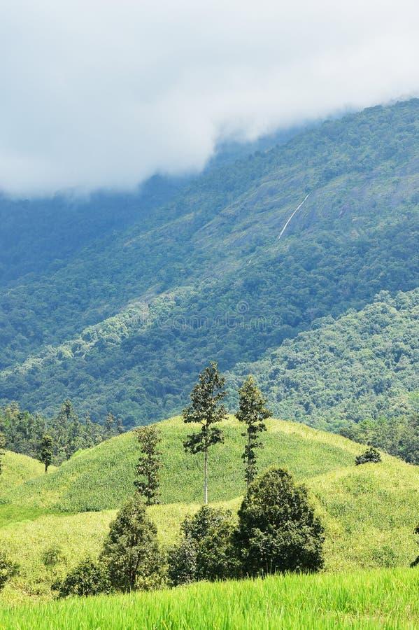 Красивые поля риса зеленого цвета с ландшафтом горы стоковое фото rf