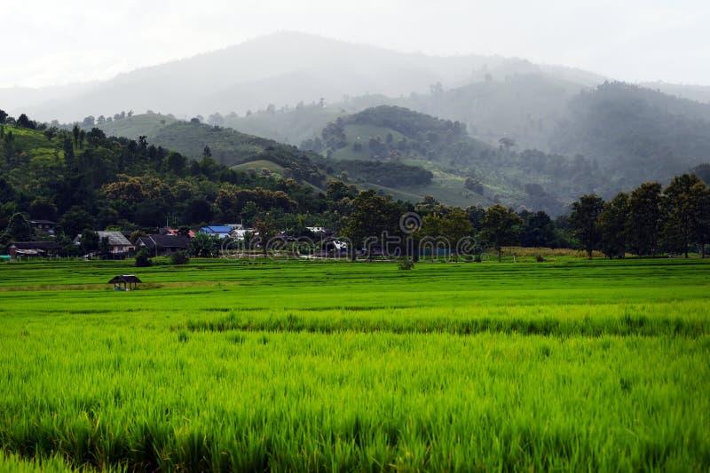 Красивые поля риса зеленого цвета стоковое фото