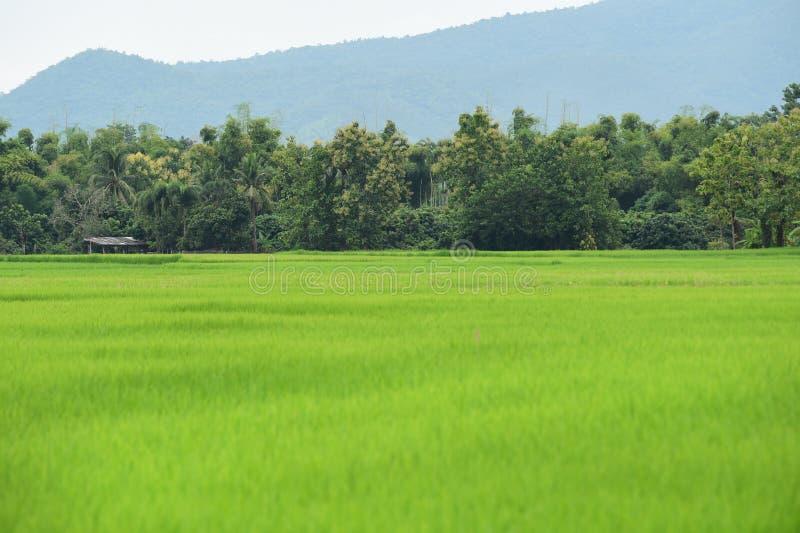 Красивые поля риса зеленого цвета стоковые фотографии rf