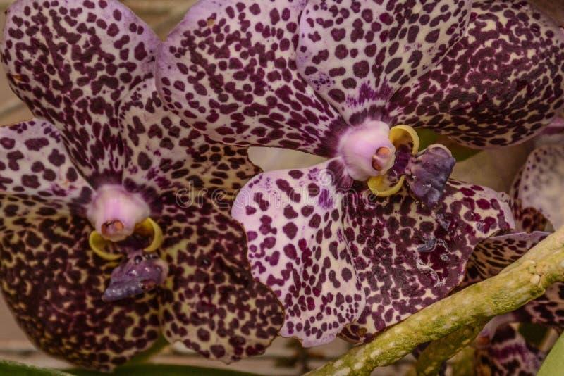 Красивые пурпурные запятнанные орхидеи стоковая фотография