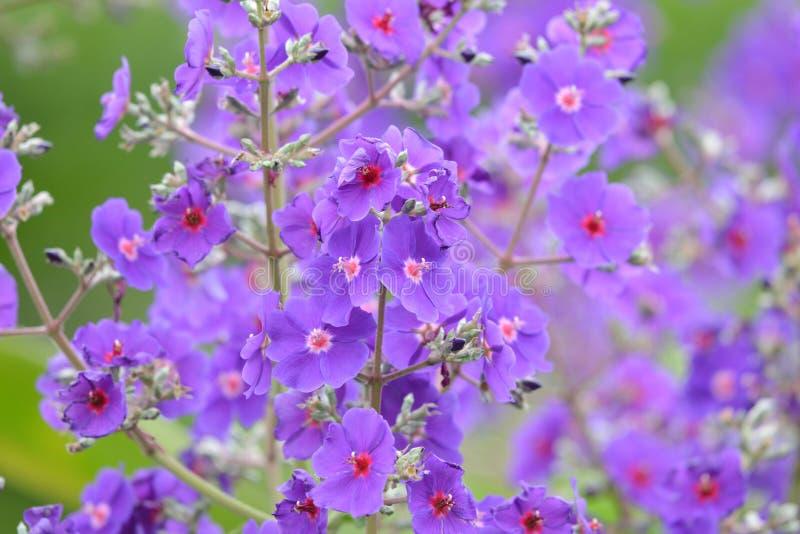 Красивые пурпурные цветки в конце вверх стоковые фото