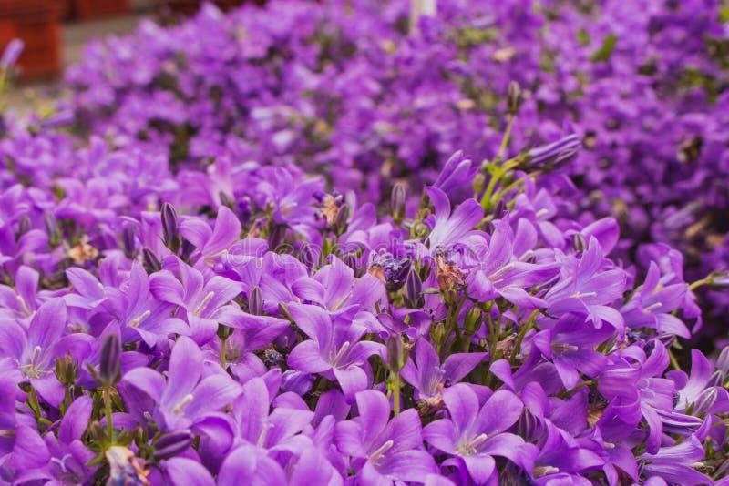 Красивые пурпурные цветки в саде Зацветая фиолетовый конец колокольчика вверх Красочные небольшие цветки лета стоковое фото