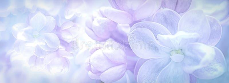 Красивые пурпурные цветки сирени цветут предпосылка панорамы ветви сфокусируйте мягко Шаблон карточки подарка приветствию Изображ стоковая фотография rf