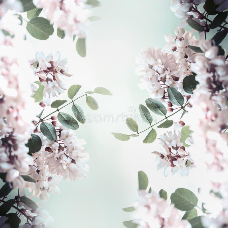 Красивые рамка цветения акации, весна и природа лета стоковые изображения rf