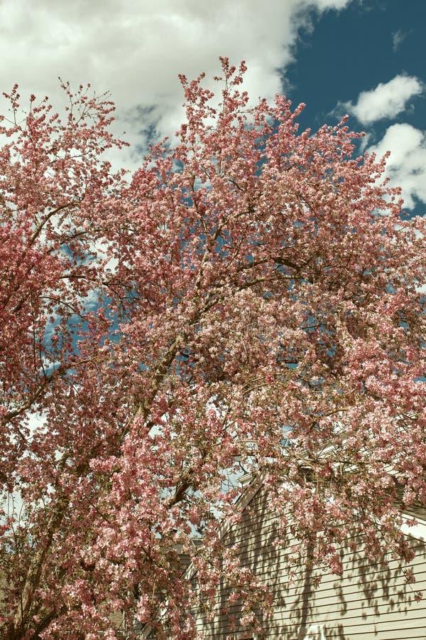 Красивые розовые вишневые цвета на весенний день стоковые изображения