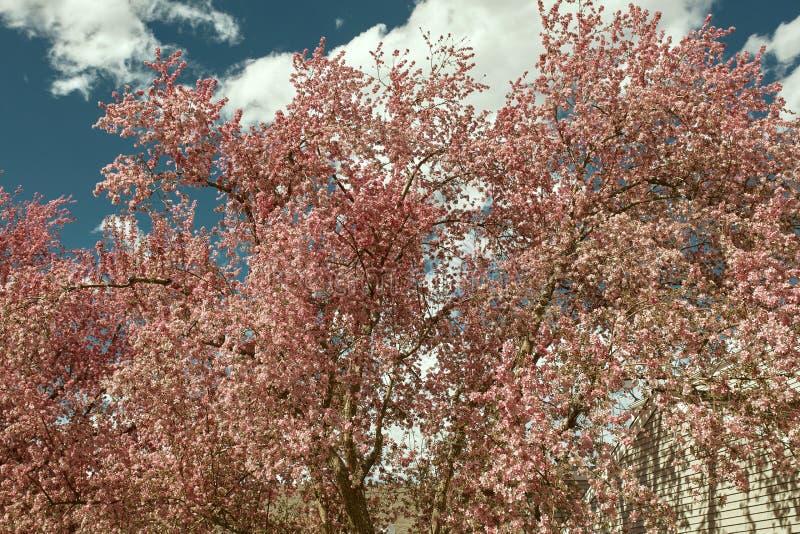 Красивые розовые вишневые цвета на весенний день стоковые фотографии rf