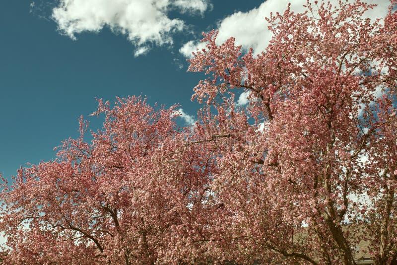 Красивые розовые вишневые цвета на весенний день стоковое фото rf