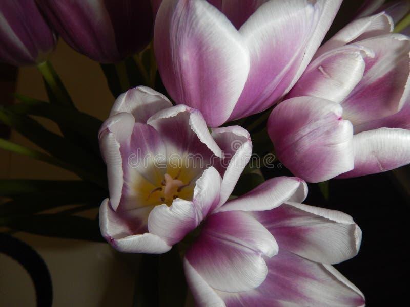 Красивые розовые и белые тюльпаны стоковое фото