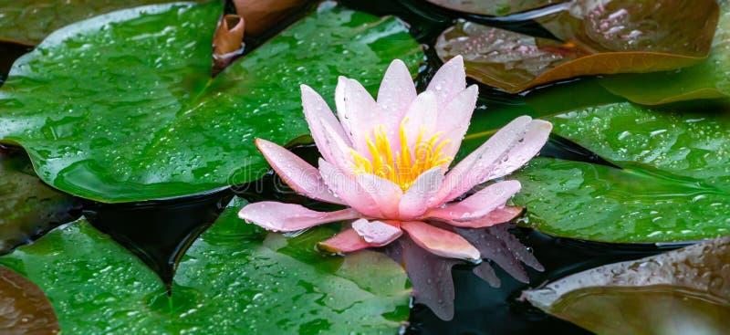 Красивые розовые лилия воды или цветок лотоса Marliacea Rosea после дождя на естественной предпосылке в старом пруде стоковое фото rf