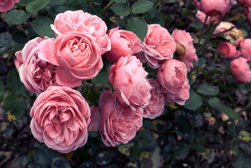 Красивые розовые розы стоковая фотография