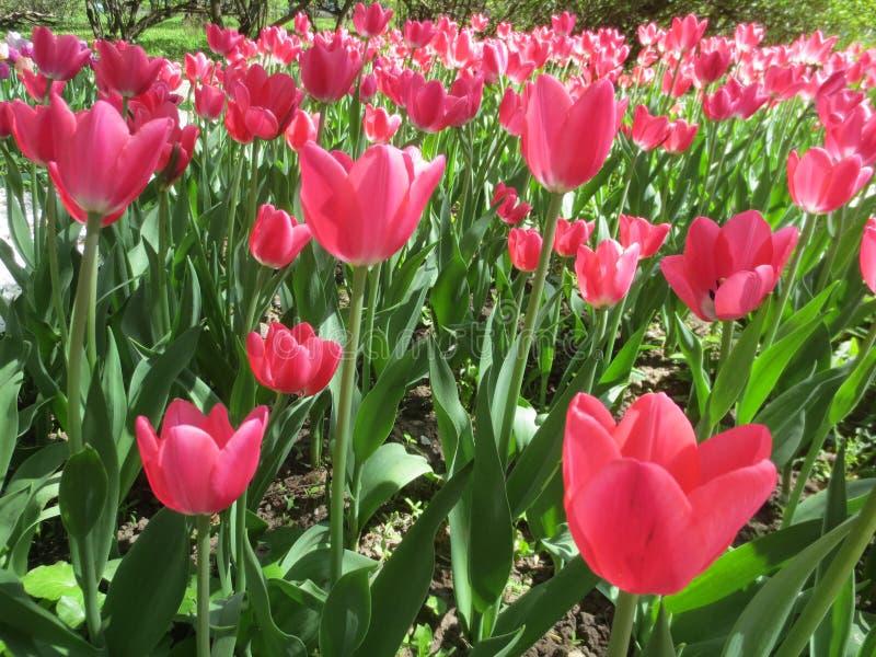 Красивые розовые тюльпаны на зеленой предпосылке лист на солнечный весенний день в парке стоковое изображение