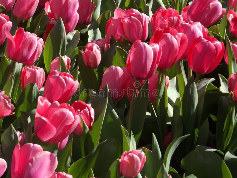 Красивые розовые тюльпаны растя в Алабаме в феврале стоковое фото
