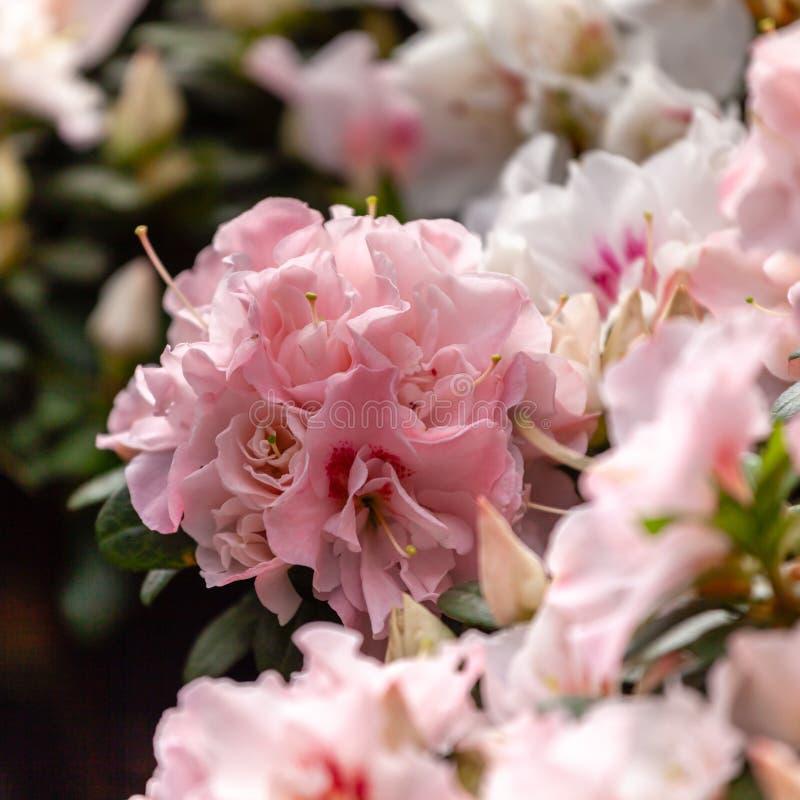 Красивые розовые цветки азалии стоковые фотографии rf