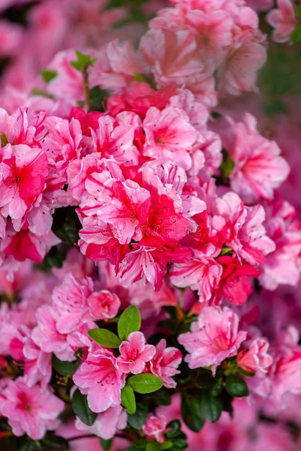 Красивые розовые цветки азалии стоковые изображения