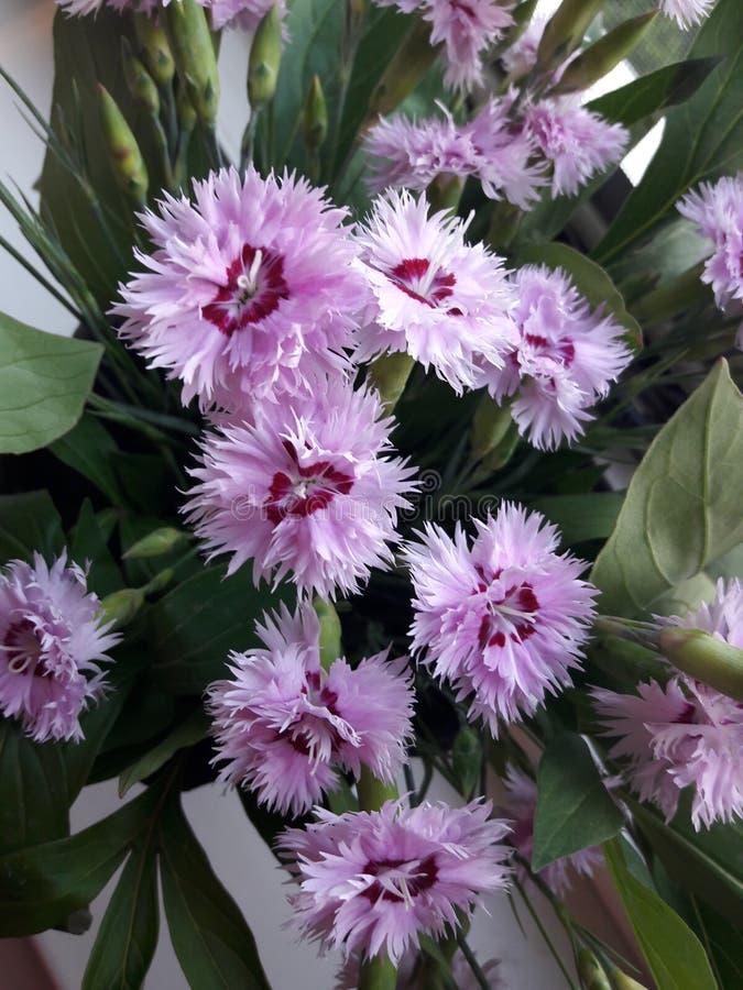 Красивые розовые цветки - гвоздика /Dianthus стоковые изображения rf