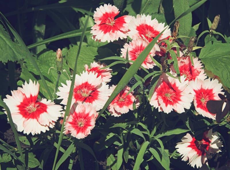 Красивые розовые цветки гвоздики в flowerbed стоковое изображение rf