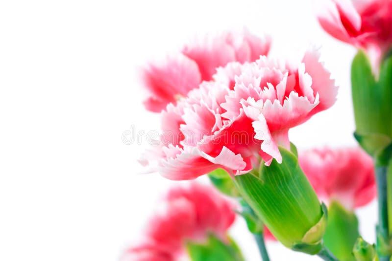 Красивые розовые цветки гвоздики, дизайн границы стоковые фотографии rf